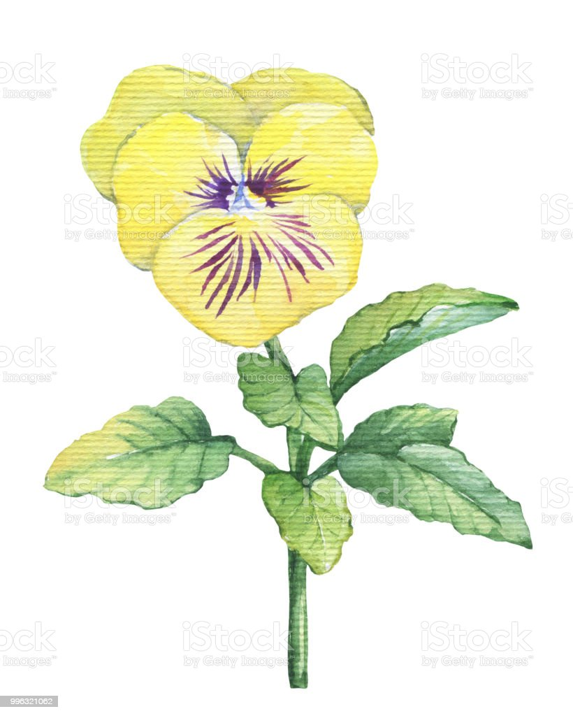 Illustration Of The Garden Yellow Pansy Flower Hand Drawn Watercolor