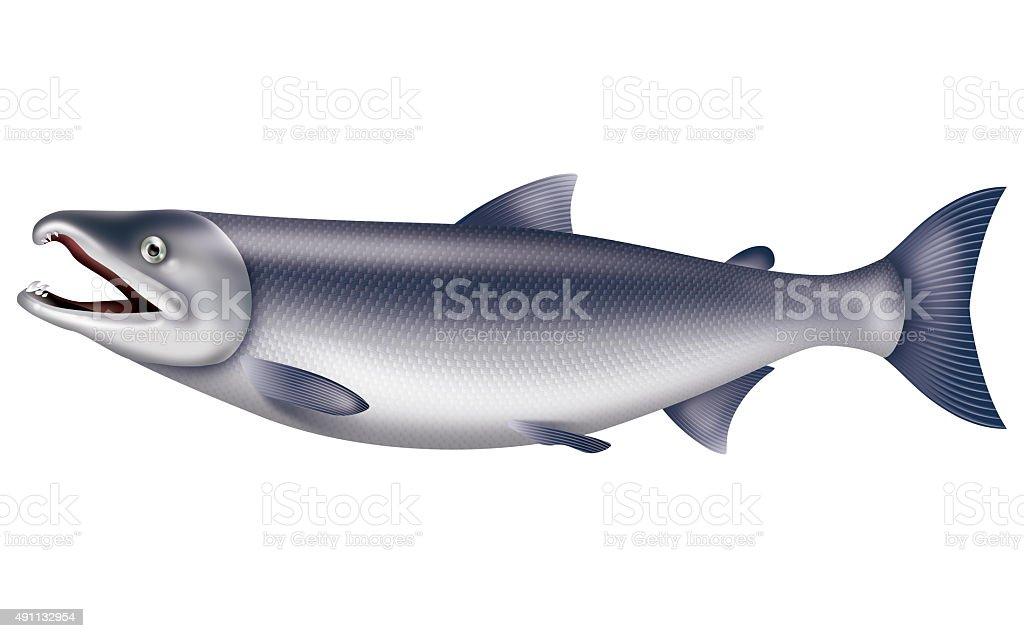 Illustration of the salmon. vector art illustration