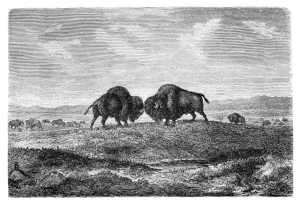 """Illustration of two bison about to fight in black and white  American bisons on prairie. Illustration originally published in Hesse-Wartegg's """"Nord Amerika"""", swedish edition published in 1880. The image is currently in public domain by the virtue of age. 1880 stock illustrations"""