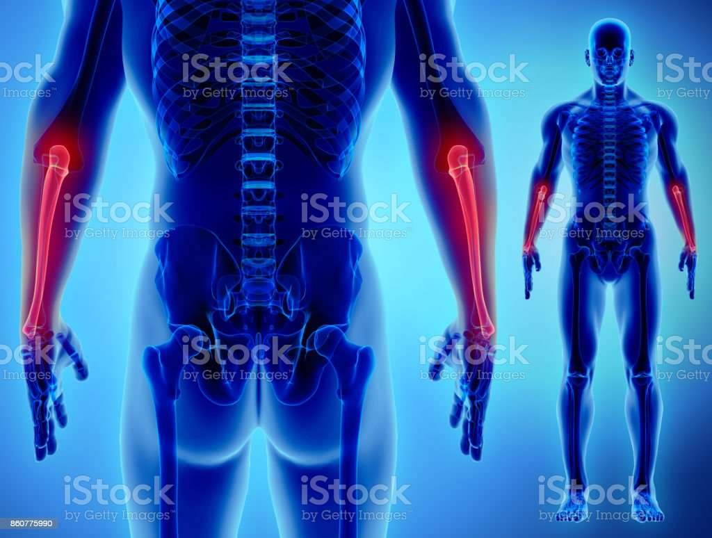 3D illustration of Ulna, medical concept. vector art illustration