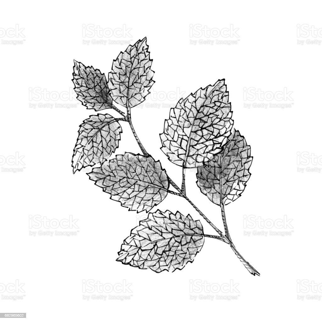 Abbildung Der Zweig Minze Auf Weißem Hintergrund Schwarz Weiß ...
