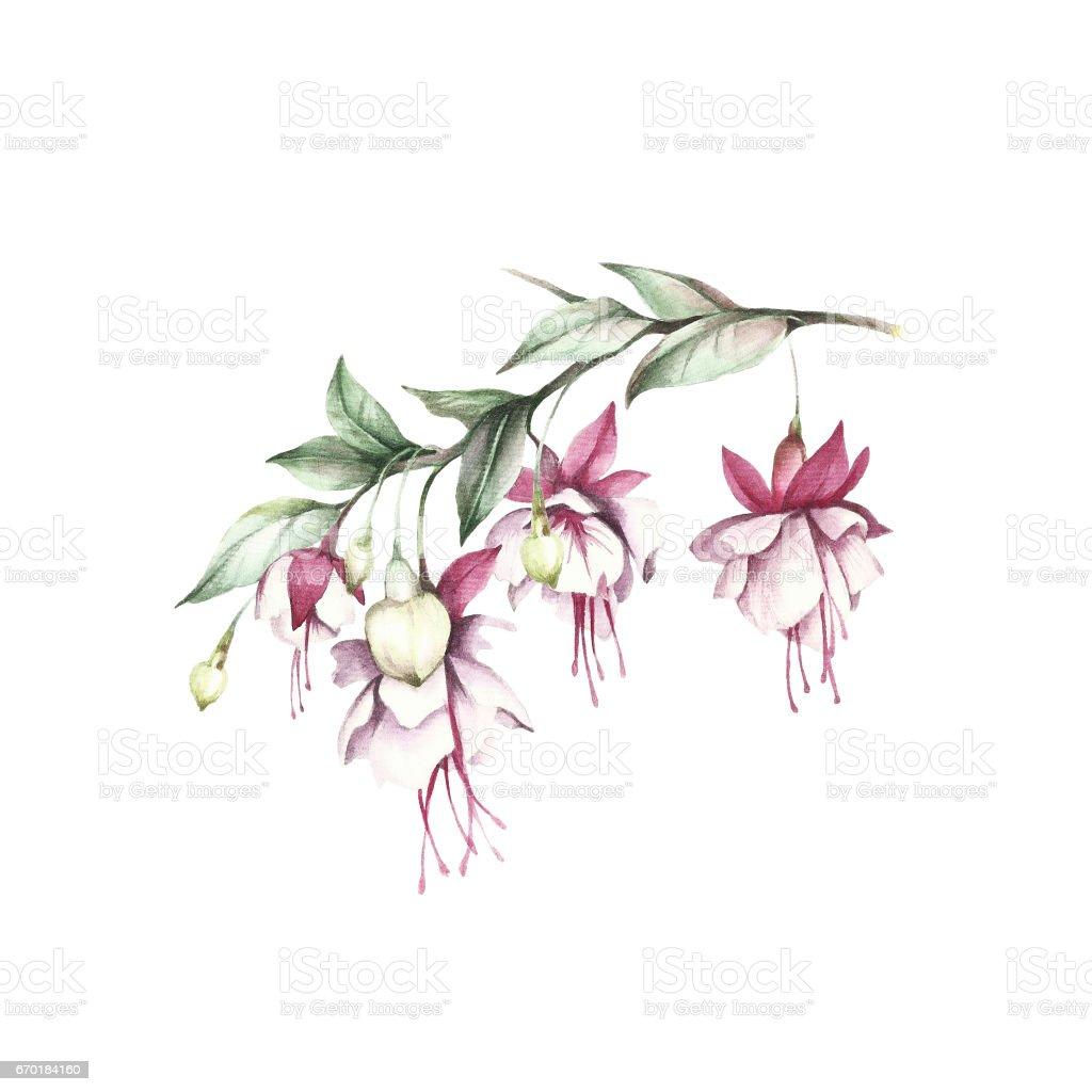 Royalty Free Fuchsia Flower Clip Art Vector Images U0026 Illustrations - IStock