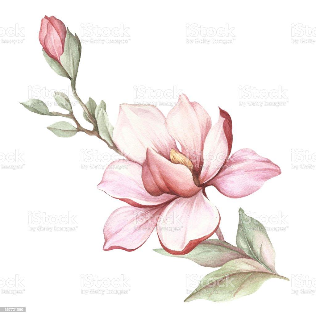 bild des bl henden magnolie zweig aquarell bild stock vektor art und mehr bilder von aquarell. Black Bedroom Furniture Sets. Home Design Ideas