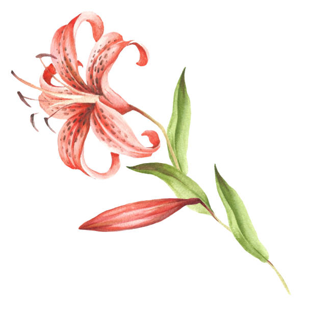 c0970efb3 Image Tiger lily flowers. Hand draw watercolor illustration. vector art  illustration
