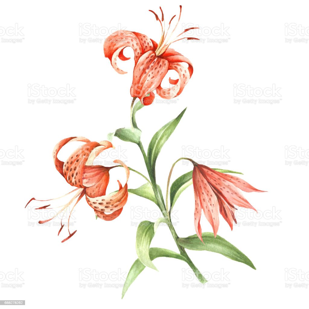 Image tiger lily flowers hand draw watercolor illustration stock image tiger lily flowers hand draw watercolor illustration royalty free image tiger lily izmirmasajfo