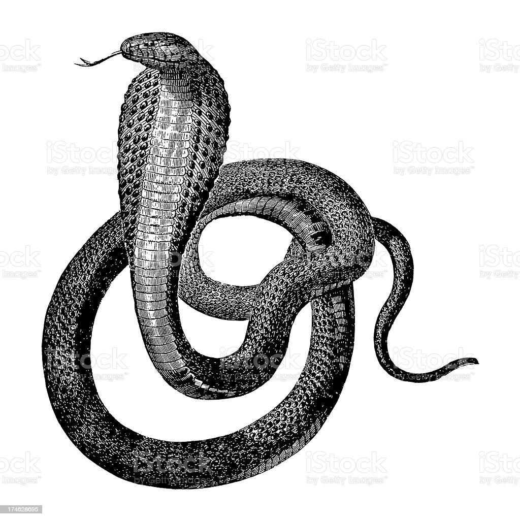 Indian Cobra royalty-free stock vector art