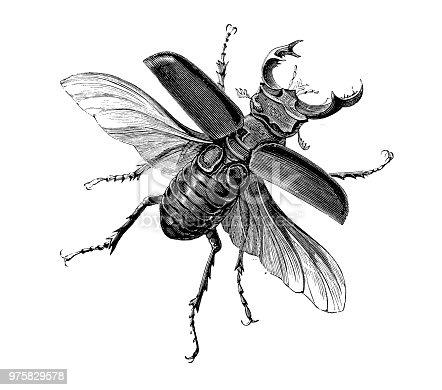 Insect antique engraving illustration: Lucanus Cervus (Stag Beetle)