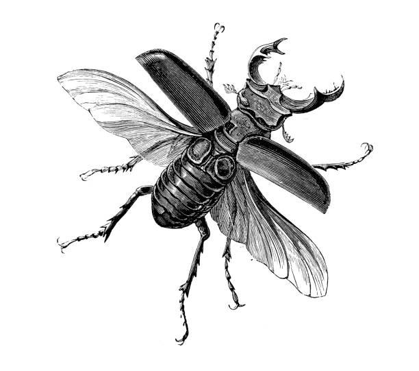 Insect antique engraving illustration: Lucanus Cervus (Stag Beetle) Insect antique engraving illustration: Lucanus Cervus (Stag Beetle) beetle stock illustrations