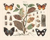 Mimicry of insects: 1-12 Imitation of green and withered leaves, twigs, and bark; 13-19) Imitation of inedible beetles and butterflies; 20-27) Imitation of dreaded insects (bees, wasps, ants) by those of other species; 28-30) Imitation of rotten objects. 1-2) Anaea phantes; 3) Anaea opalina; 4) Orange oakleaf (Kallima inachus); 5-8) Pterochroza colorata; erosa; cristata, arrosa; 9a-9b) Chrysalis (Papilio evander) - Imitation of a broken branch; 10) Caterpillar of Swallow-tailed moth (Ourapteryx sambucaria); 11) French stick insect (Clonopsis gallica); 12) Smooth tree bug (Phloea corticata); 13 Female Danaid Eggfly (Hypolimnas misippus); 14) Nymphalidae Hypolimnas Misippus (female); 15) Nymphalidae Hypolimnas Missipus (male); 16) Rhagium bifasciatum; 17) Tropidosoma Spencii; 18) Batus barbicornis; 19)  tiger bug mimic (Correbia lycoides); 20-21) Brazilian butterflies (Pseudosphinx species) which mimic Ichneumonidae and wasps; 22) Mexican longhorn beetle (Charis species) which imitates a bee; 23) Hoverfly (Sericomyia silentis); 24) Drone fly (Eristalis tenax); 25) Sphiximorpha subsessilis; 26) Ctenostoma unifasciatum; 27) Myrmecoris gracilis; 28a-28b) Cocoon of Aides amanda (South America moth); 29) Tortrix moth (Tortrix ocellaria) imitates bird droppings on a leaf; 30) Desmiphora fasciculata imitates a woolly bear caterpillar. Lithograph, published in 1897.