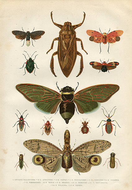 Insects cicada bug beetle 1881 Steel engraving of different insects beetle stock illustrations