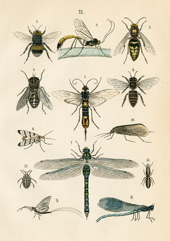 Insects: hawker, bee, hornet, caddisfly, horntail engraving 1872