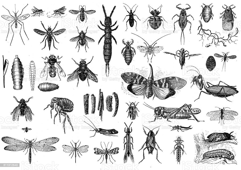 Insects Engraved illustrations of Insects Animal Body Part stock illustration