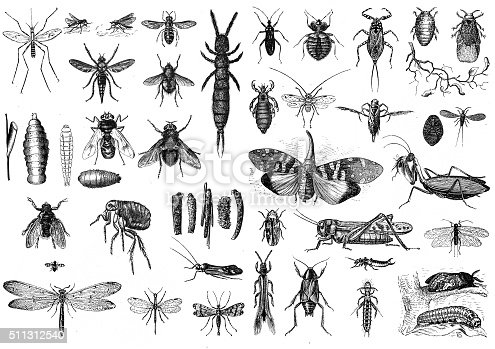 Engraved illustrations of Insects