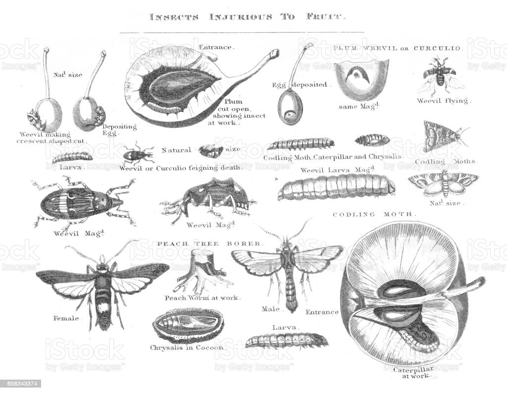 Insects injurious to fruit engraving 1873 vector art illustration