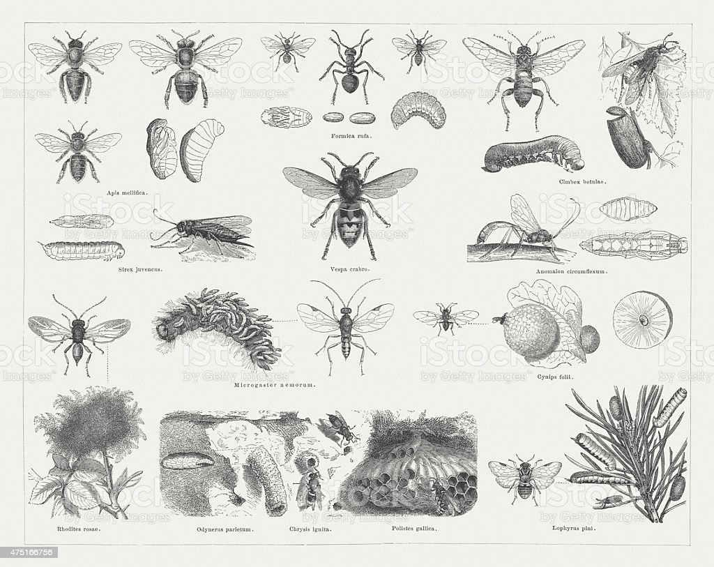 Insects (Hymenoptera), wood engravings, published in 1876 vector art illustration