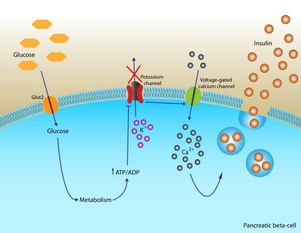 Insulin secretion Illustration of insulin secretion in pancreatic cells amino acid stock illustrations