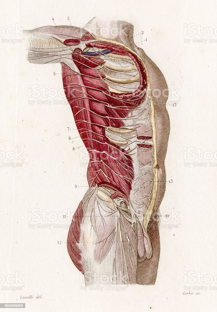 Intercostal Nerves Anatomy Engraving 1886 Stock Vector Art More
