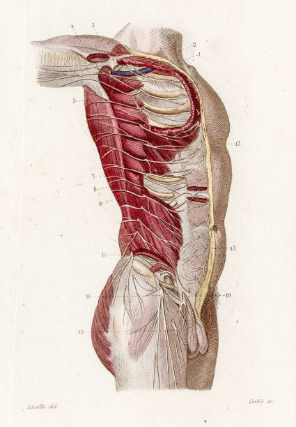 Intercostal nerves anatomy engraving 1886 vector art illustration