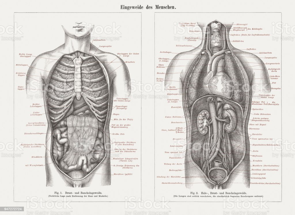 Internal Organs In Human Anatomy Wood Engravings Published In 1897
