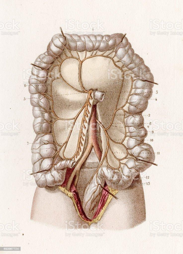 Darm Arterien Anatomie 1886 Gravur Stock Vektor Art und mehr Bilder ...