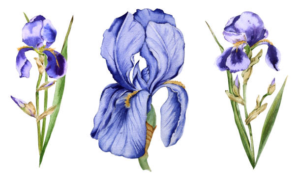 Iris flower. Isolated on white background. Iris flower. Isolated on white background. Watercolor illustration. iris plant stock illustrations