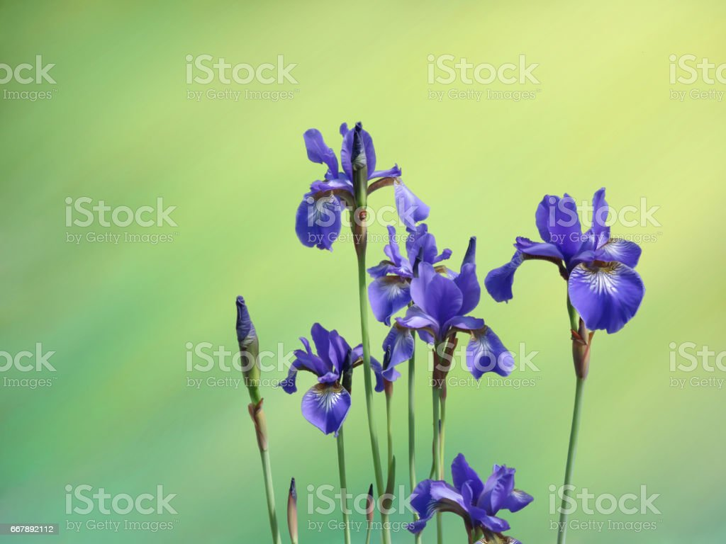 iris royalty-free iris stock vector art & more images of horizontal