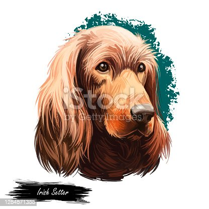 Irish Setter, Red Setter, Irish Red Setter dog digital art illustration isolated on white background. Irland origin sporting gundog dog. Pet hand drawn portrait. Graphic clip art design for web, print