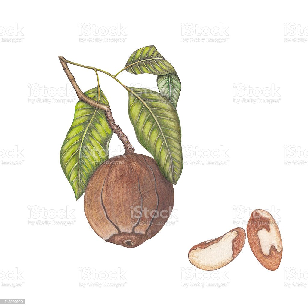 Isolated illustration of brazil nuts and branch vector art illustration