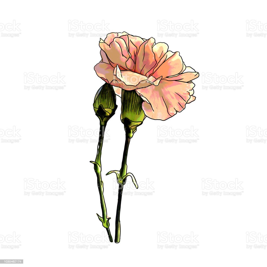 It is a photo of Influential Pink Carnation Drawing