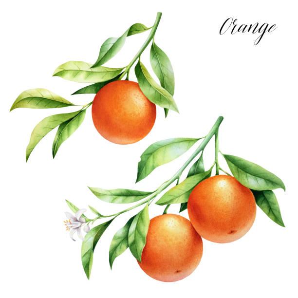 ilustrações de stock, clip art, desenhos animados e ícones de isolated two oranges on a branch. watercolor illustrartion of citrus tree with leaves and blossoms. - orange