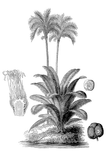 Ivory tree (Phytelephas macrocarpa) and silver date palm (Phoenix sylvestris)