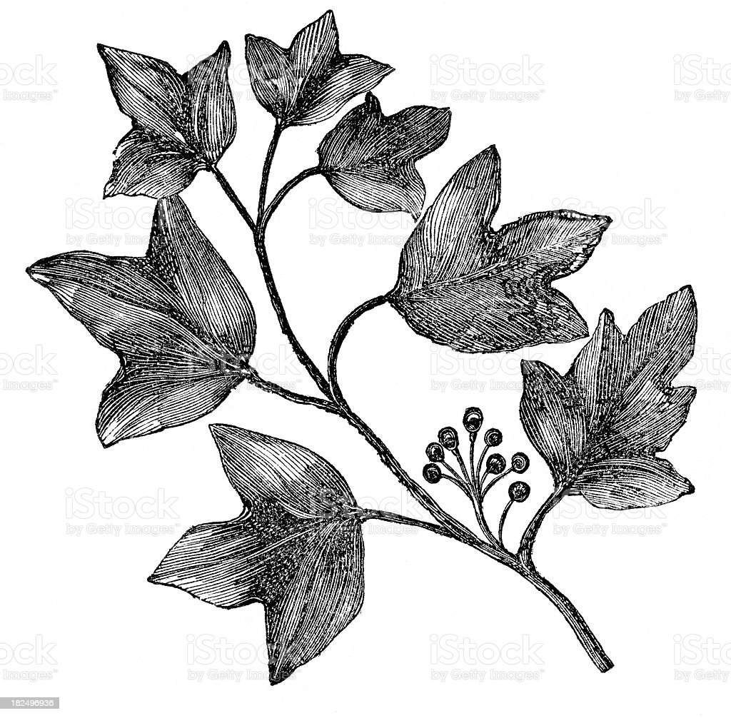 ivy engraving vector art illustration