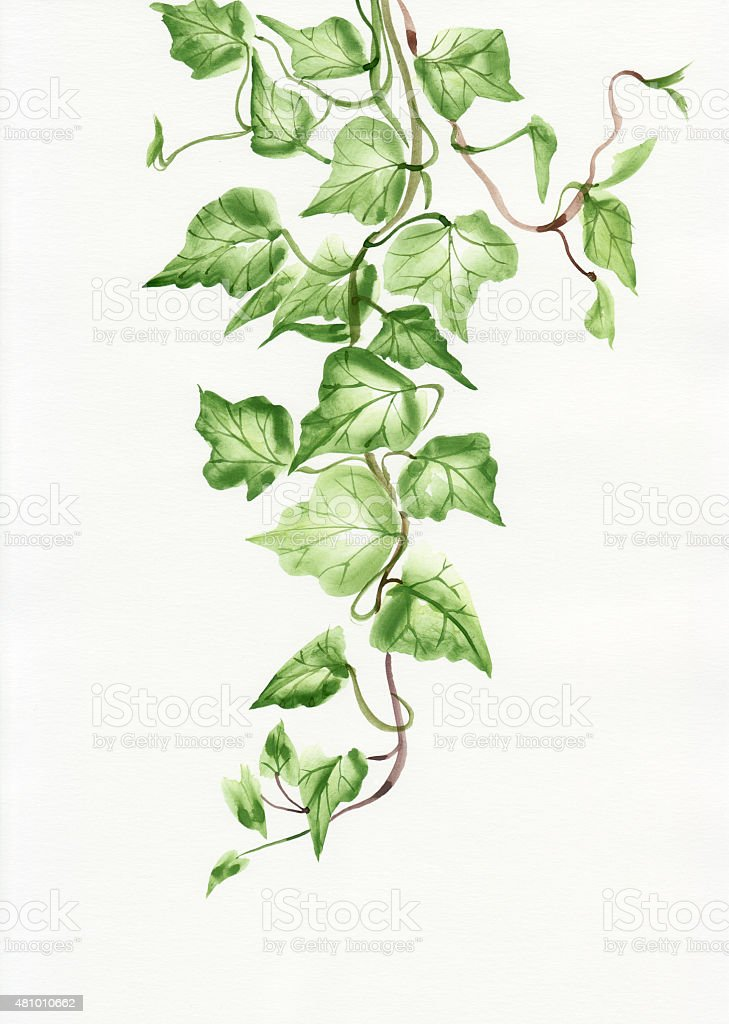 Ivy leaves vector art illustration
