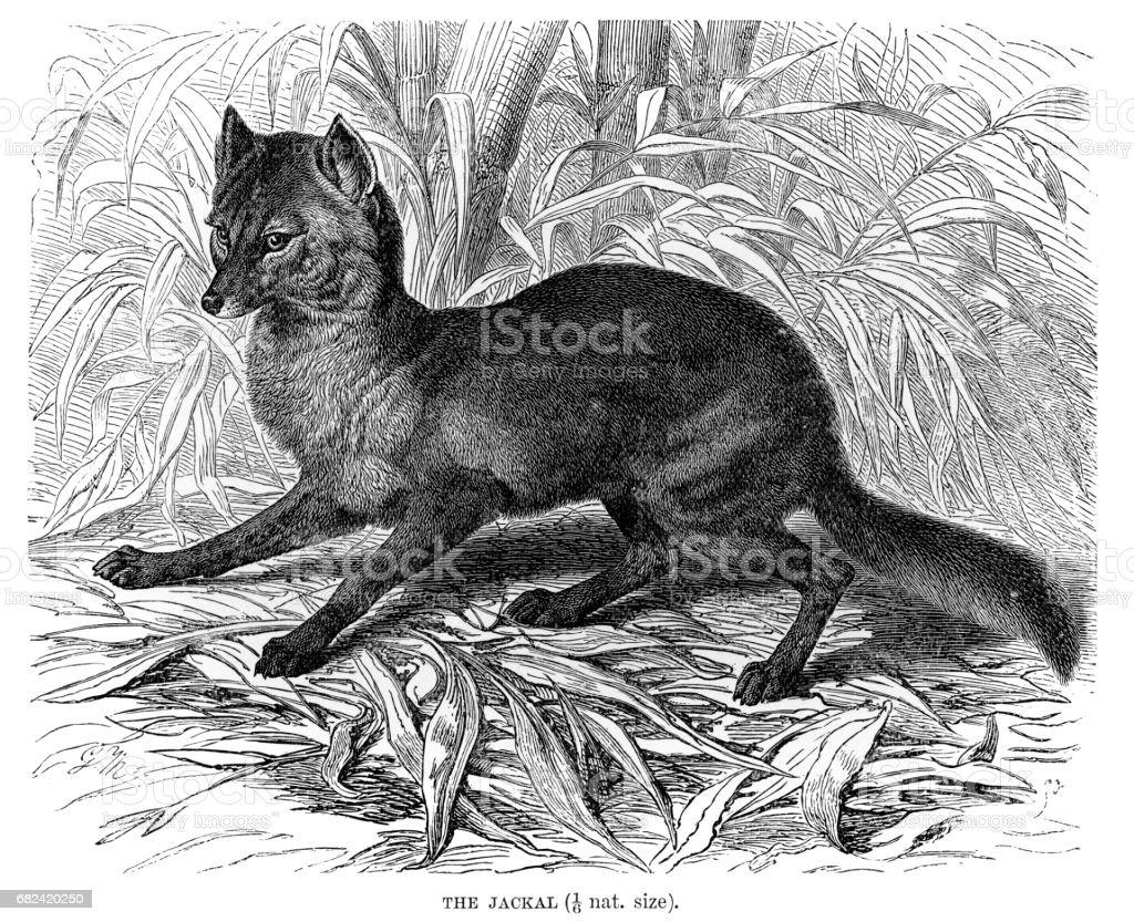 Jackal engraving 1894 royalty-free jackal engraving 1894 stock vector art & more images of animal
