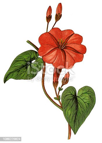 Illustration of a  jalap (Ipomoea purga)