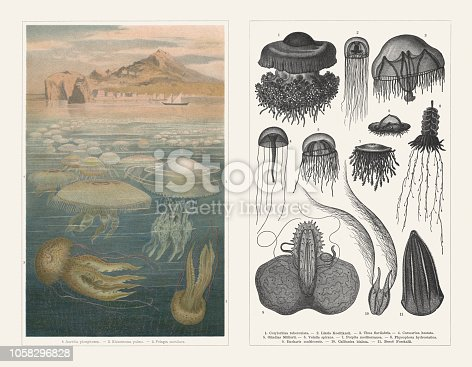 Jellyfish, left side: Moon jelly (Aurelia phosphora, or Aurelia aurita); 2) Barrel jellyfish (Rhizostoma pulmo); 3) Mauve stinger (Pelagia noctiluca). Right side: 1) Mediterranean jelly (Cotylorhiza tuberculata); 2) Lizzia koellikerii; 3) Tima flavilabris; 4) Carmarina hastata; 5) Olindias Müllerii; 6) Velella velella (or Velella spirans); 7) Porpita porpita (Blue button, or Porpita mediterranea); 8) Siphonophorae (Physophora hydrostatica); 9) Eucharis multicornis; 10) Arctic comb jelly (Callianira bialata); 11) Beroe Forskalii. Lithograph and wood engravings, published in 1897.