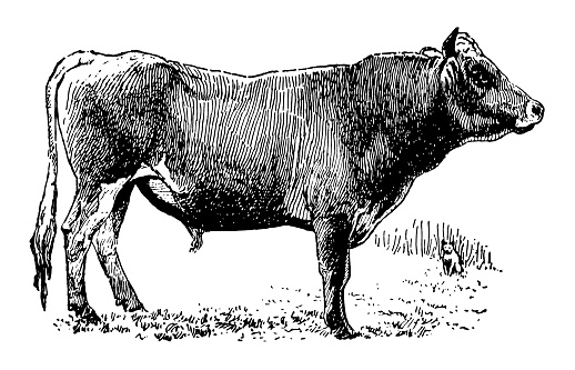 Antique XIX century engraving of a jersey bull.
