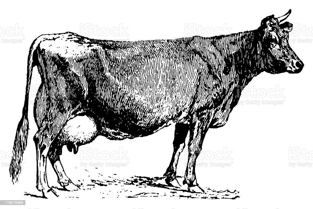 Jersey cow | Antique Animal Illustrations vector art illustration