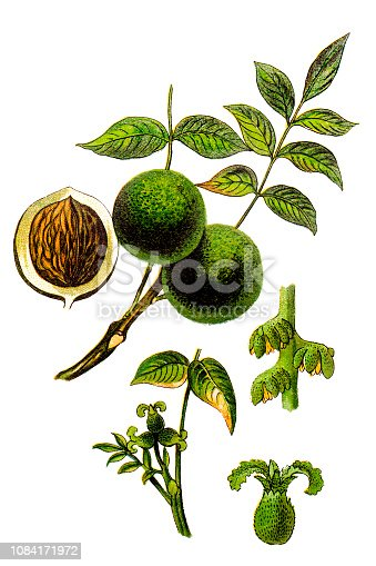 Illustration of a Juglans regia, the Persian walnut, English walnut, Circassian walnut