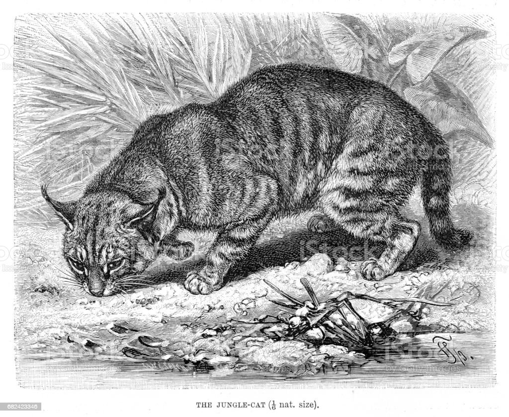 Jungle cat engraving 1894 royalty-free jungle cat engraving 1894 stock vector art & more images of animal