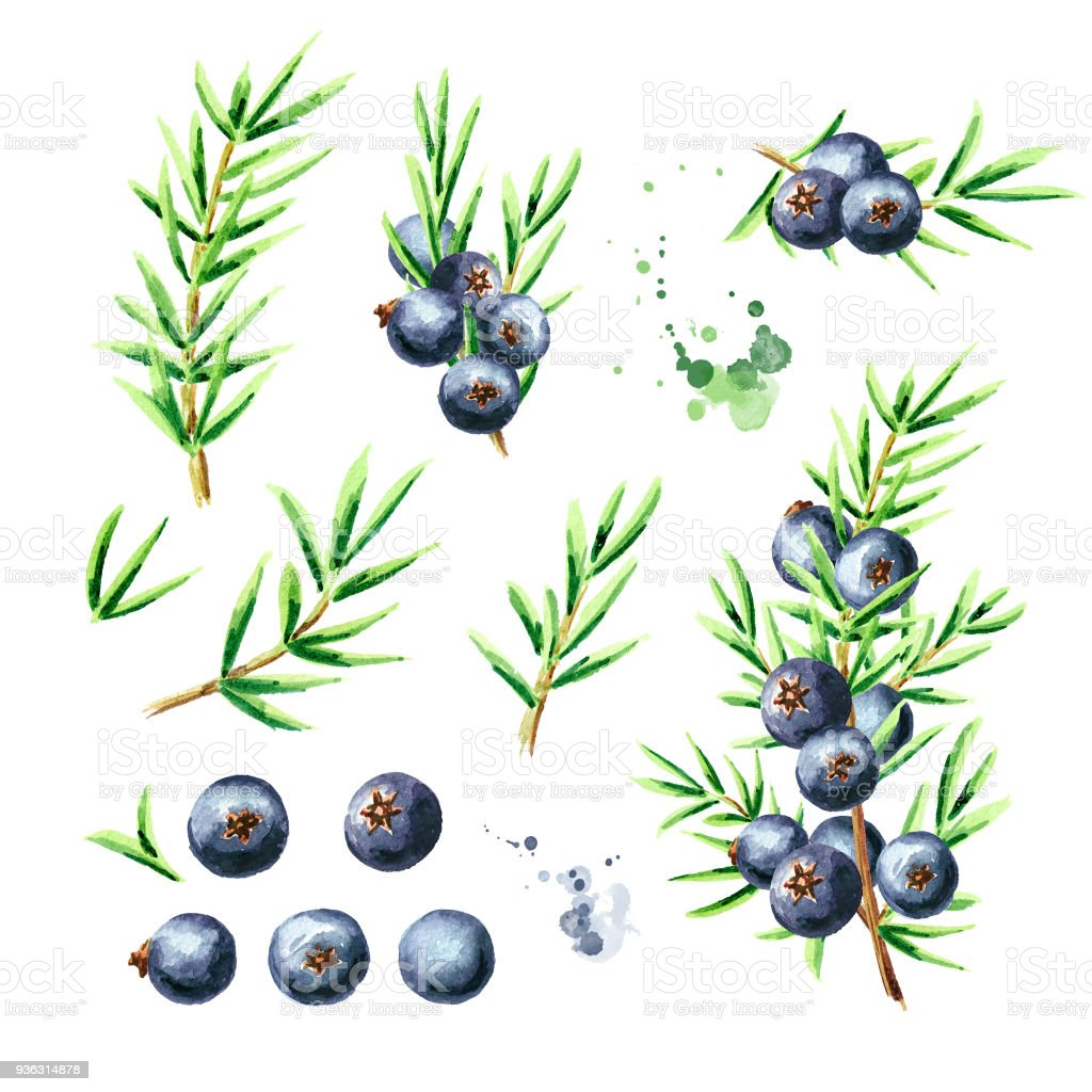 Juniper berries and branches set. Watercolor hand drawn illustration, isolated on white background vector art illustration