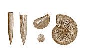 Illustration of a Jurassic era fossil