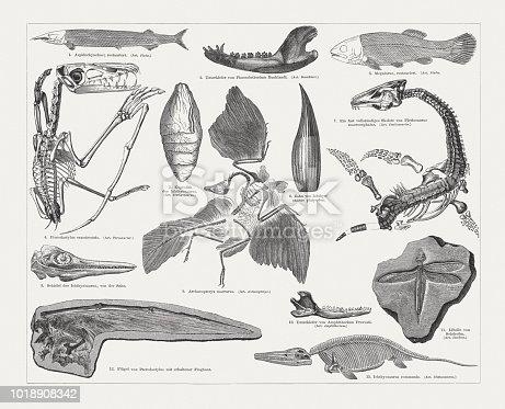 Jurassic fossils: 1) Aspidorhynchus; 2) Lower jaw of Phascolotherium Bucklandi; 3) Megalurus; 4) Pterodactylus crassirostris; 5) Coprolite of  Ichthyosaurus; 6) Tooth of Ichthyosaurus platyodon; 7) Fast complete skeleton of Plesiosaurus macrocephalus; 8) Skull of Ichthyosaurus, side view; 9) Archaeopteryx macrurus; 10) Lower jaw of Amphitherium Prevosti; 11) Dragon-fly of Solnhofen; 12) Wing of Pterodactylus with preserved flight skin; 13) Ichthyosaurus communis. Wood engravings, published in 1897.