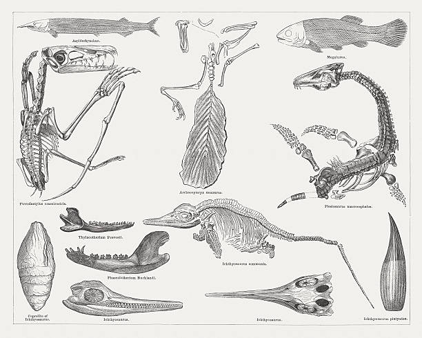 jurassic fossils, wood engravings, published in 1876 - animal skull stock illustrations