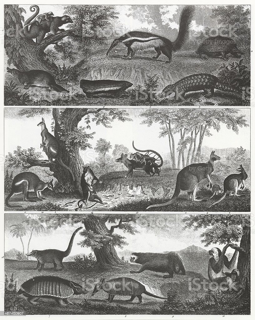 Kangaroo, Ant Eater and Armadillo Engraving royalty-free kangaroo ant eater and armadillo engraving stock vector art & more images of 19th century