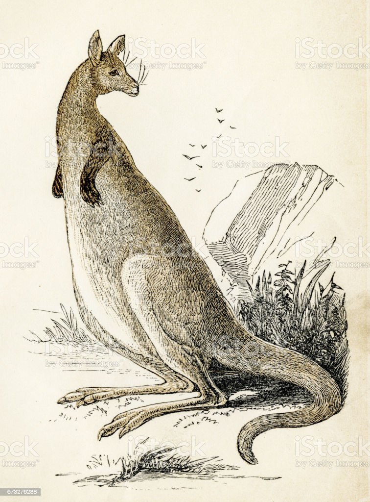 Kangaroo  engraving 1851 vector art illustration