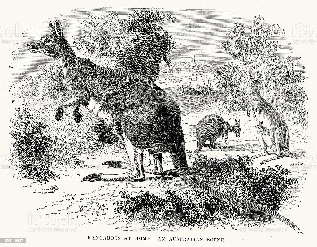 Kangaroos royalty-free kangaroos stock vector art & more images of 19th century