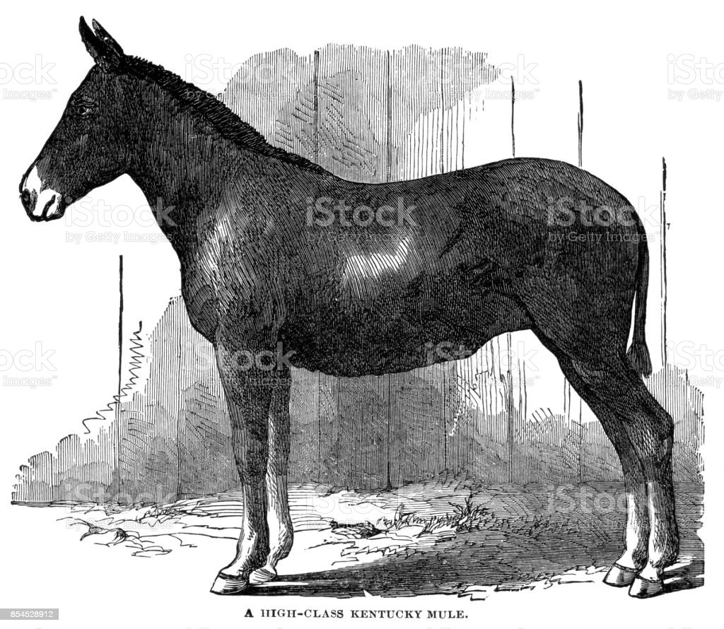 Kentucky mule vector art illustration