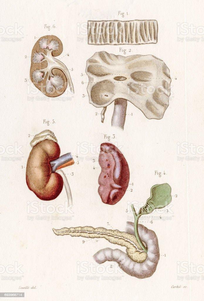 Kidney Liver Spleen Anatomy Engraving 1886 Stock Vector Art & More ...