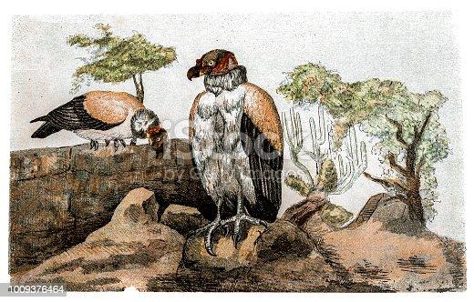 Illustration of a King vulture
